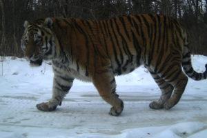 В заповеднике «Бастак» при поддержке Всемирного фонда дикой природы (WWF) силами специалистов отделов охраны и науки продолжается мониторинг амурских тигров.