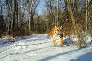 В заповеднике «Бастак» начался II этап конкурса по выбору имени тигрицы Т8.