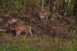 Пополнение в тигриной семье заповедника «Бастак»