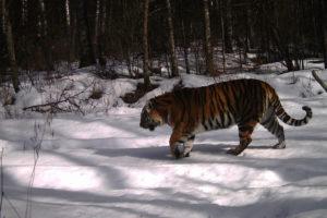 Объявлен конкурс по выбору имени тигрицы в заповеднике «Бастак»