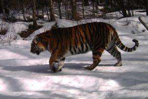 Заповедная тигрица получила достойное имя